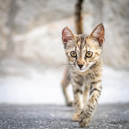 Stray Kitten Strut