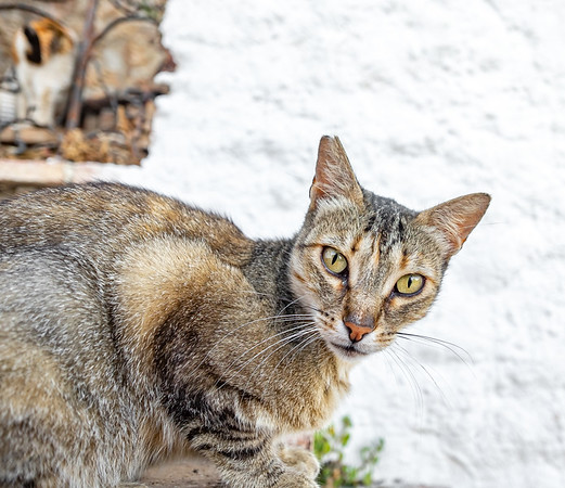 Andalucian Abyssinian
