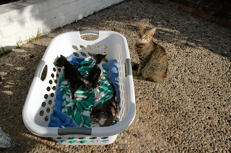 This was Mom with her three kittens the first time we went to see them at about 6 weeks