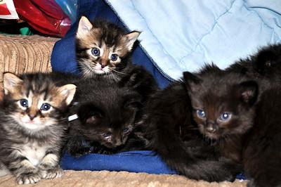 Double, Trouble, Fluffer, Nutters & Tribble (Charlotte's Kittens)