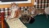 Darcy - the wildest of wildcats