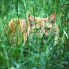 Stedman lived with us when I was in England;  he was an outdoor cat, and spent many hours pretending he was a fierce lion in the Serengeti (front lawn of our house in Abingdon);  here is Stedman suitably camouflaged waiting for an unsuspecting Thompson's Gazelle to wander by…