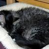 Mr. Widgeon fast asleep in his fleece cat-bed