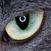 Close-up of a Grey Cat's Eye with a Ring Flash Catch-Light