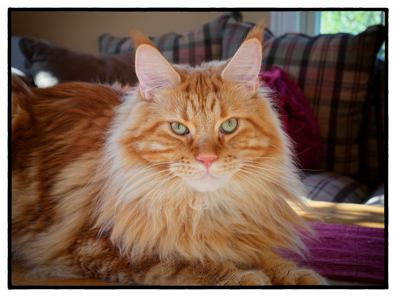 Tanner, Male Maine Coon