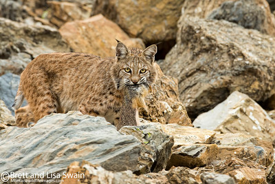 Bobcat with Ground Squirrel