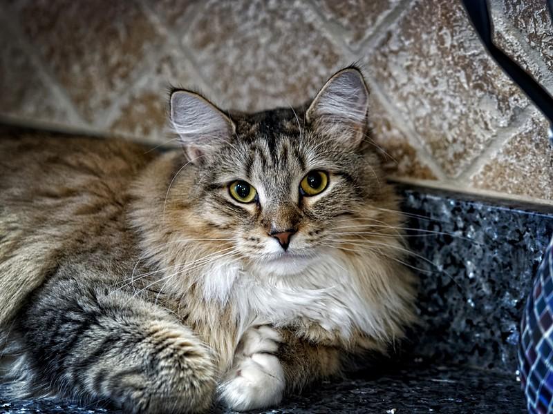 Kitchen Counter Cat