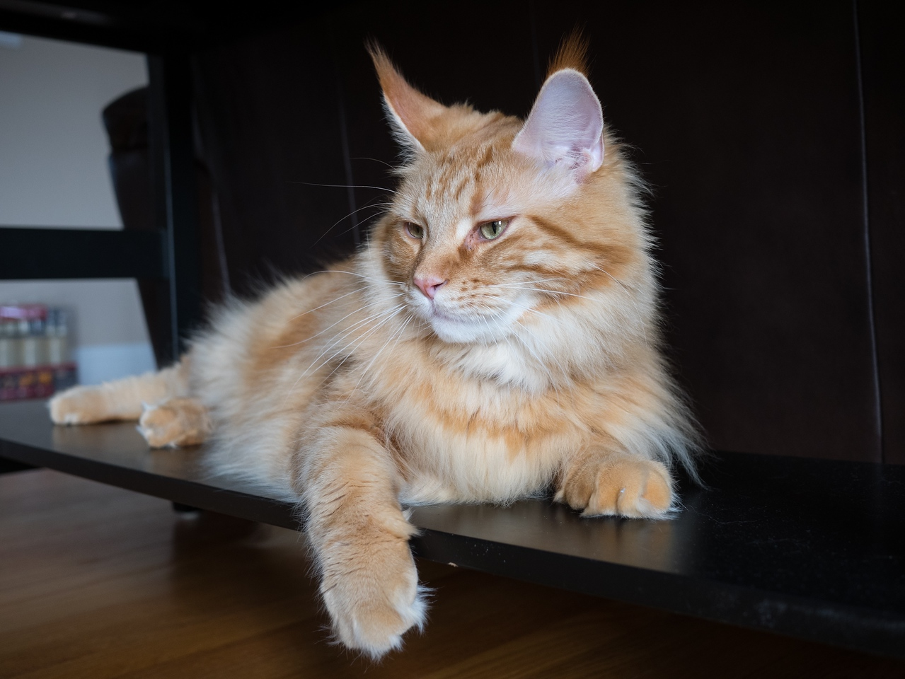 Tanner- Male Maine Coon