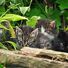 Stray kittens in our yard, Springhill, Nova Scotia - 2012