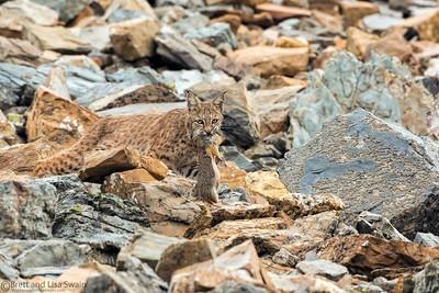 Bobcat #2