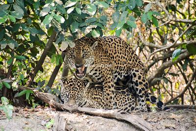 Mating jaguars