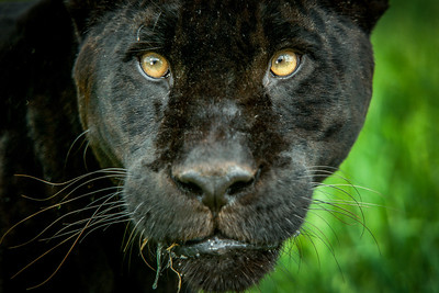 Black jaguar (Panthera onca) captive