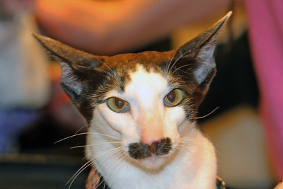 The first ever Catsbury Park Cat Convention was held this past weekend in Asbury Park. Celebrity cats Lil Bub and Teddy and Stache were on hand along with The Kitten Lady, Paul The Cat Guy and many others. Teddy and Stache welcome their fans during a meet and greet session. (MARK R. SULLIVAN/THE COAST STAR)