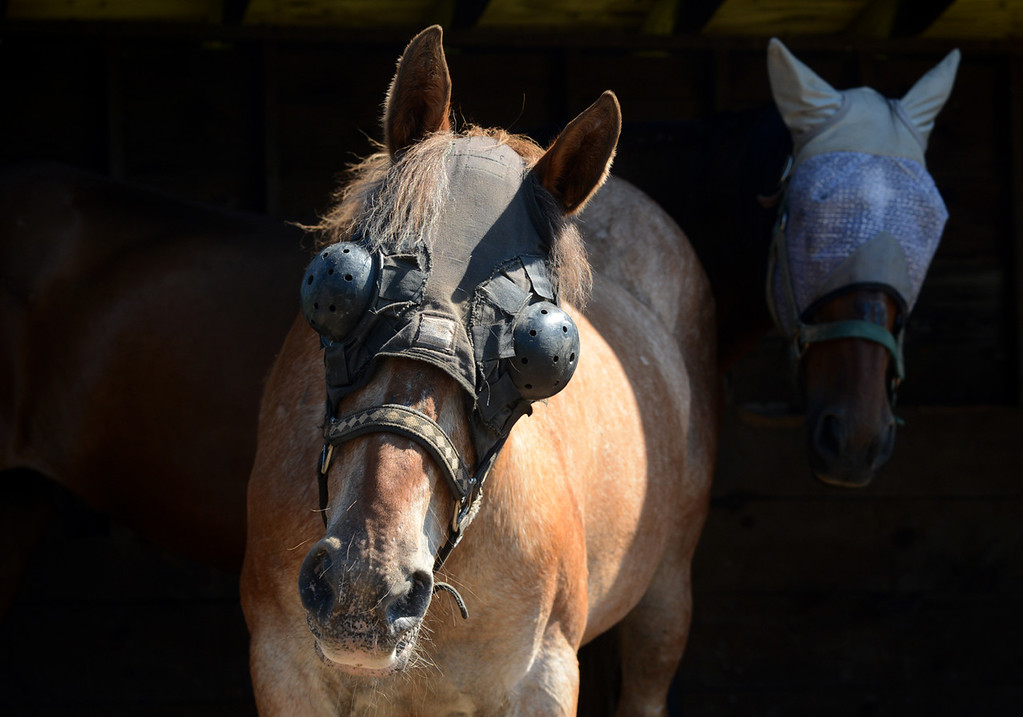 . Tania Barricklo- Daily Freeman Ashley, a blind , 35 year old rescue at the Catskill Animal Sanctuary , stands halfway in her stable with her son Pliers, 33, behind her.The head piece is to protexct her eyes from further UV damage and injury.