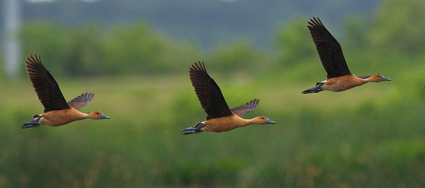 D500_CattailMarsh_FulvousWhistlingDuck_Flying_5-11-17_282