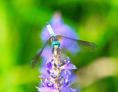 D500_CattailMarsh_ Dragonfly_Resting_5-11-17_1099-1