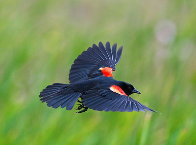 D500_CattailMarsh_RedWingedBlackbird_Flying_5-11-17_1277