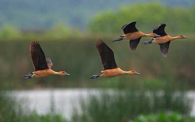 D500_CattailMarsh_FulvousWhistlingDuck_Flying_5-11-17_287