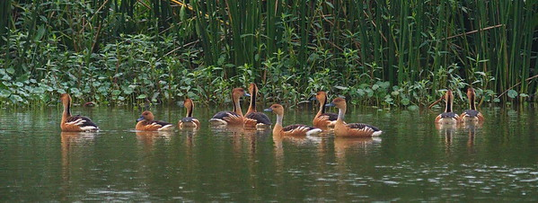 D500_CattailMarsh_FulvousWhistlingDuck_Swimming_5-11-17_375