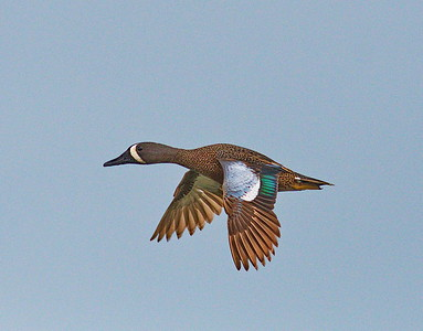 D500_CattailMarsh_BlueWingedTeal_Flying_5-11-17_633