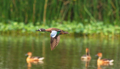 D500_CattailMarsh_BlueWingedTeal_Flying_5-11-17_993