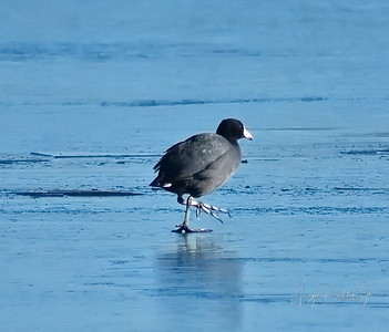 The Coot walking on solid ice!