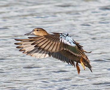 D500_CattailMarsh_BlueWingedTeal_Flying_11-7-17_9097