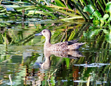 D500_CattailMarsh_BlueWingedTeal_Swimming_9-14-17_8541-3
