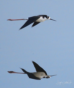 D500_CattailMarsh_BlackneckedStilt_Flying_9-14-17_8071-1