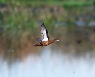 D500_CattailMarsh_BlueWingedTeal_Flying_9-14-17_8485-3