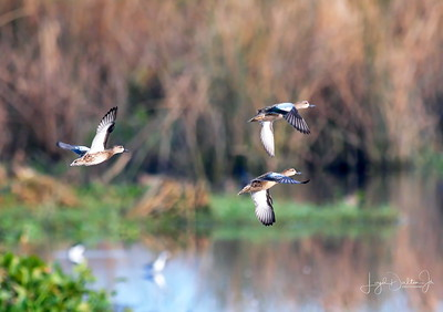 D500_CattailMarsh_BlueWingedTeal_Flying_9-14-17_8521-1