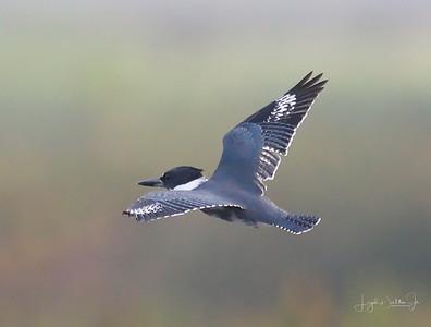 D500_Anahuac_Kingfisher_Flying_9-14-17_8298-1