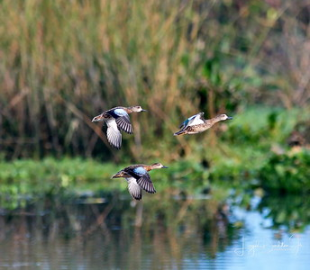 D500_CattailMarsh_BlueWingedTeal_Flying_9-14-17_8518-1