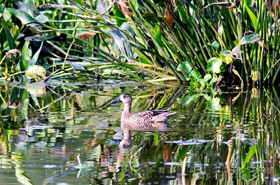D500_CattailMarsh_BlueWingedTeal_Swimming_9-14-17_8545-1