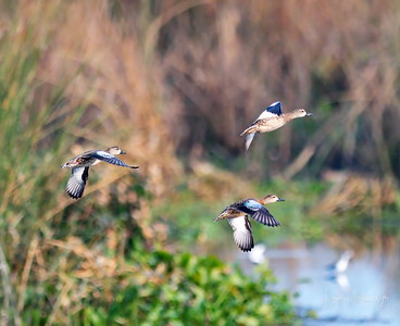 D500_CattailMarsh_BlueWingedTeal_Flying_9-14-17_8520-1
