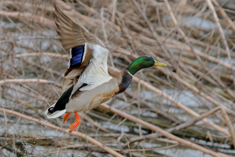 Mallard drake taking off in the first of a 4 image series.