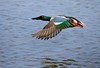Shoveler flying low and fast.