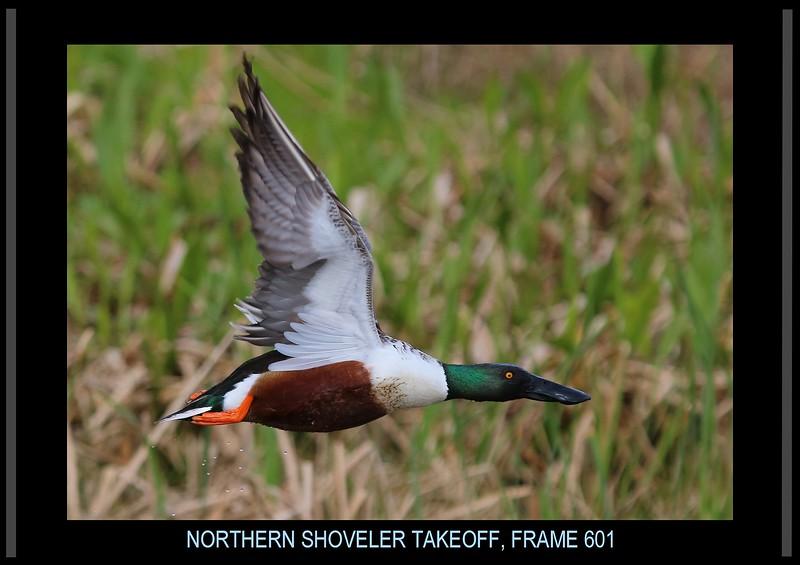 0aCattail Marsh, 1-27-17 601A small framed final, Shoveler close flyby