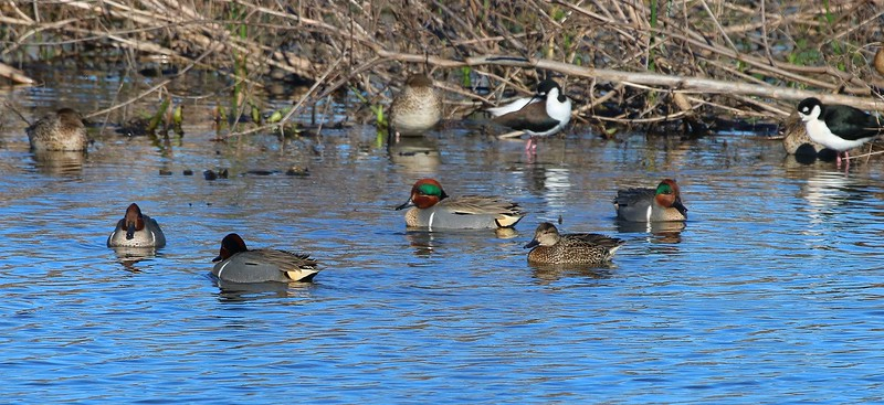 Green-winged Teal courtship circle.