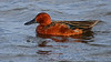 Thursday's extended close look at the celebrated Cinnamon Teal.