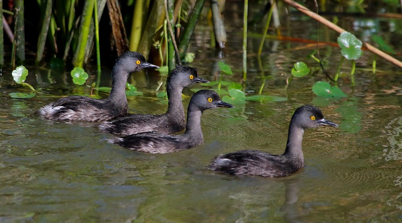 Least Grebes are rare this far north in Texas, but a handful have been spotted regularly at Cattail Marsh in recent years.