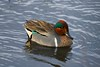 01aCattail Marsh 1-26-17 270A Green-winged Teal-270