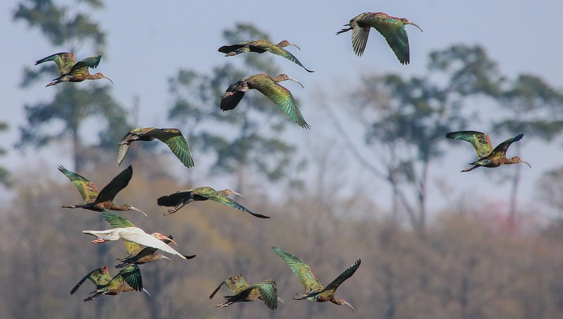 On our walk around the water cells we saw several groups of birds relocate. These are mostly White-faced Ibis.