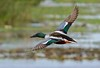There are over 5 million Shovelers in North America, making it the 3rd most abundant duck behind Mallards and Blue-wing.