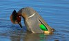 Duck mating behavior, though often studied, is still not well understood. Many variables are at work.