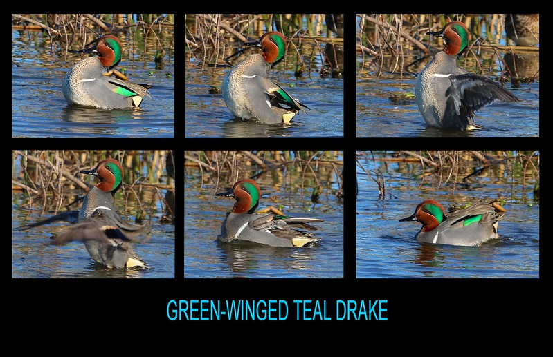 Many ducks/Teal flap their wings during courtship and grooming activities, as shown here.