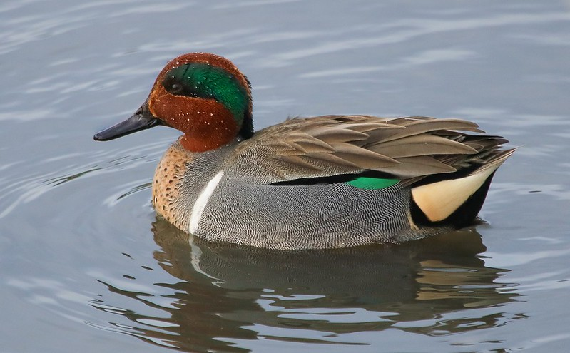 01aCattail Marsh 1-26-17 301C Green-winged Teal