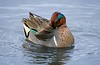 01aCattail Marsh 1-26-17 290B Green-winged Teal-290