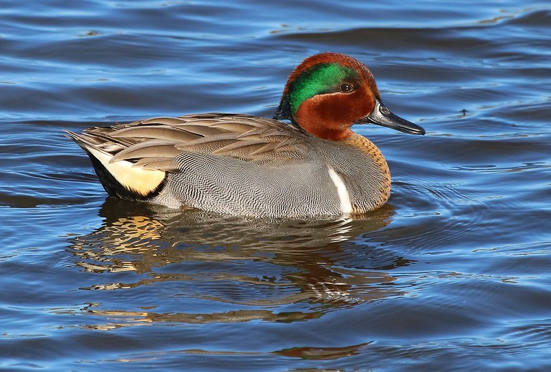 00aCattail Marsh 1-23-17, 5659B, Green-winged Teal-5659