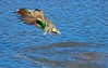 As dabbling ducks go the Green-winged Teal are very light (a pound or less) and pop out of the water like corks when taking off.